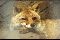 ゆかいなどうぶつたち ~オオカミ・キツネ・タヌキ~