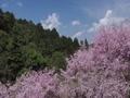 御調八幡の枝垂れ桜